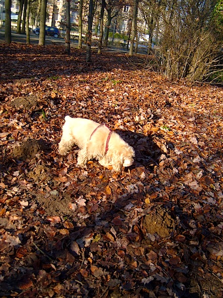 """Blondy, Easy Hikers' pet dog, sniffing something interesting on the hiking trail"""