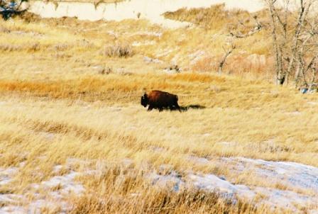 """Buffalos in Badlands National Park"""