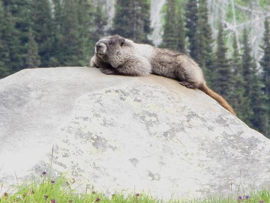 """Hoary Marmot by Cheakamus Lake Vancouver"""