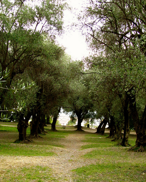 """Trees of the same variety lined up uniformly in Parc du Pian in Menton"""