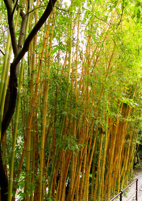 """Bamboos growing in the Botanical Garden of Menton"""