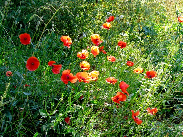 """A small field of poppies seen by the hiking blogger along a hiking trail"""