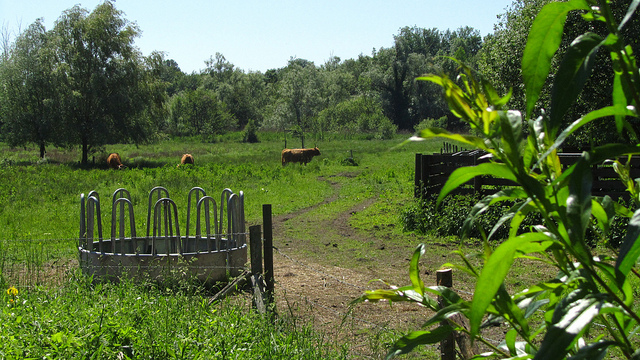 """Cows grazing in the meadows of the Marais de Misery of Ile de France"""