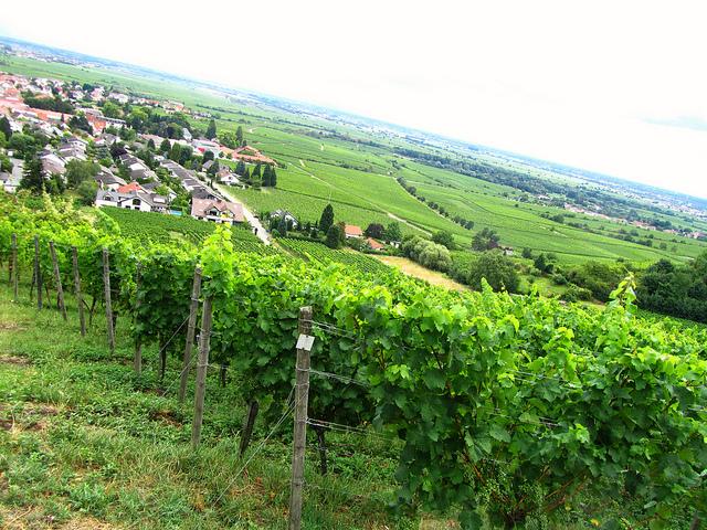 """""""View of vineyards from Wachenheim hiking trail near Bad Duerkheim in the Palatinate"""""""