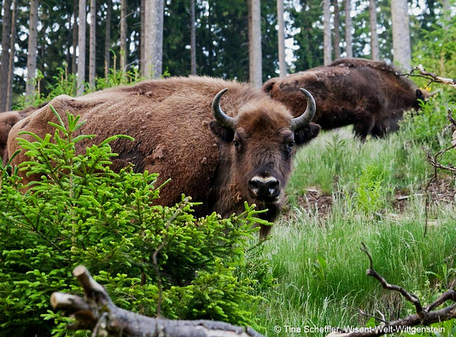 """Buffalos on the Rothaarsteig trail in Germany"""