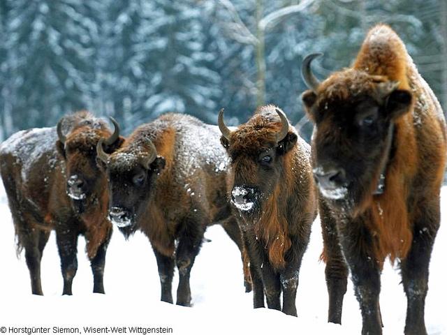 """Buffalos on the Rothaarsteig"""