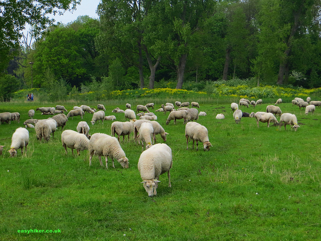 """A flock of sheep seen on a walk in Rotterdam Kralingse Bos"""