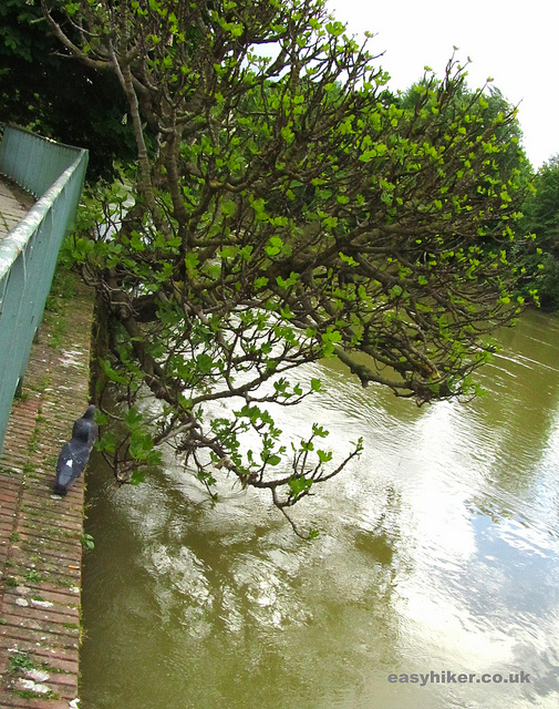 """Tree growing out of the wall by riverbank of the Marne on some walks near Paris"""