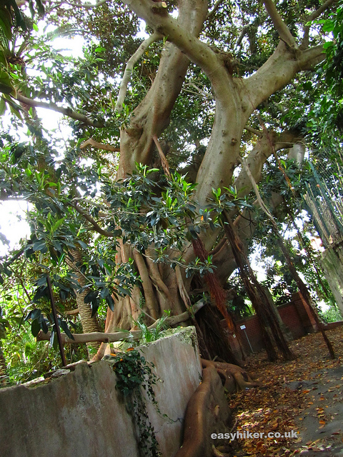 """A very ancient tree in Bordighera"""