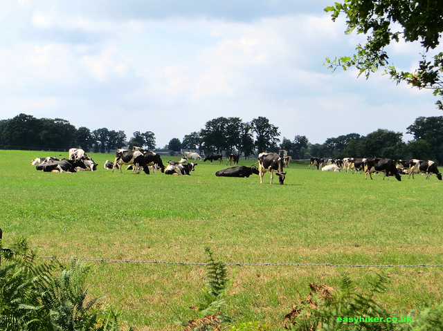 """Cows on a pasture along a hike from Oldenzaal to Hengelo"""