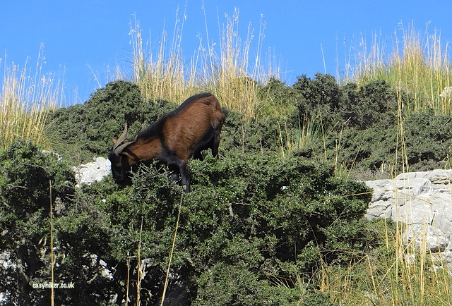 """goat on a tree seen from our bus tour on a no frills island tour in Mallorca"""