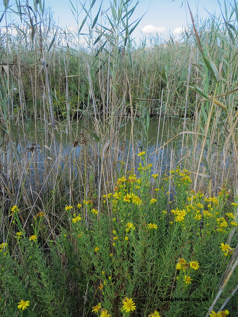 """Water reeds and flowers in the Mallorcan Marshland"""
