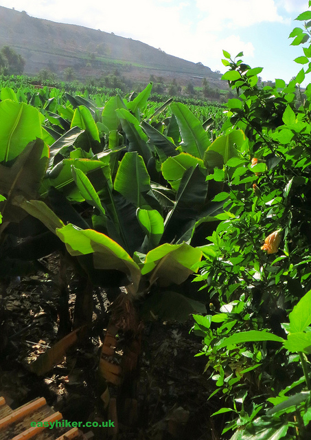 """banana plantation in Arucas, one of the towns in Gran Canaria worth a visit"""
