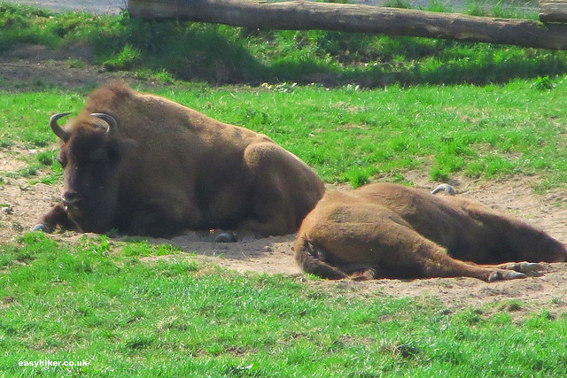 """Bisons napping in the open fields along the Neanderthal hike in Germany"""