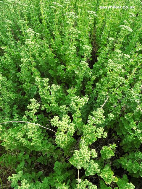 """Oregano plant"""