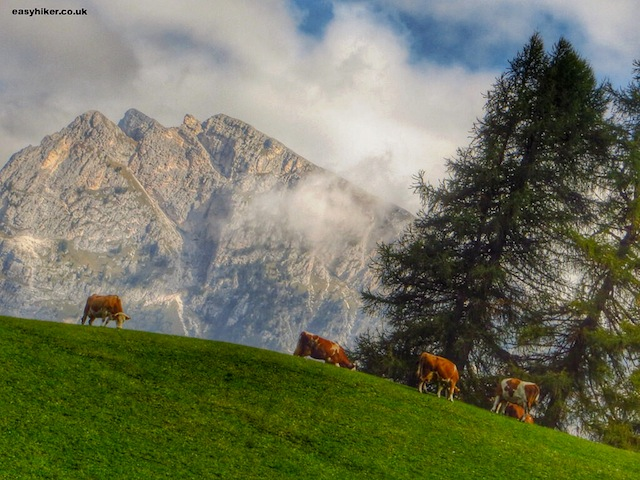 """Cows on the Dolomites slopes of Monte Pana"""