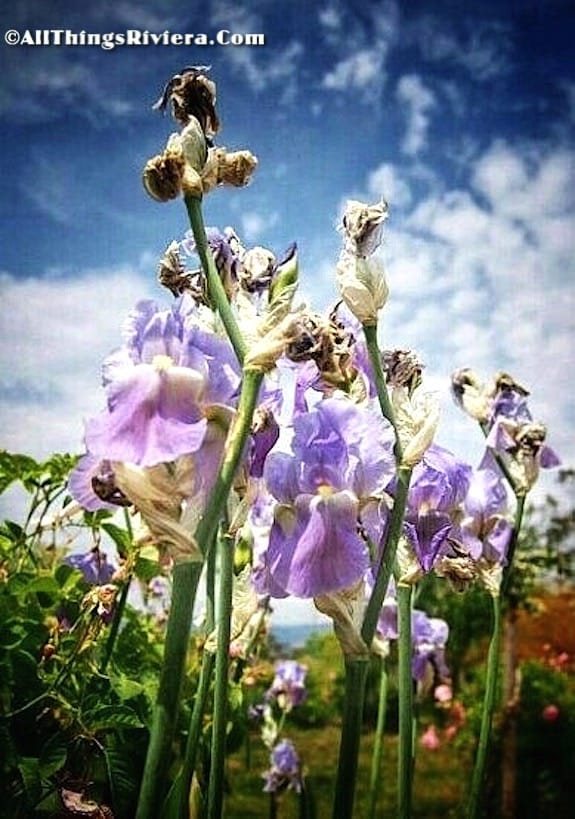 """irises in the garden of scents of Grasse"""