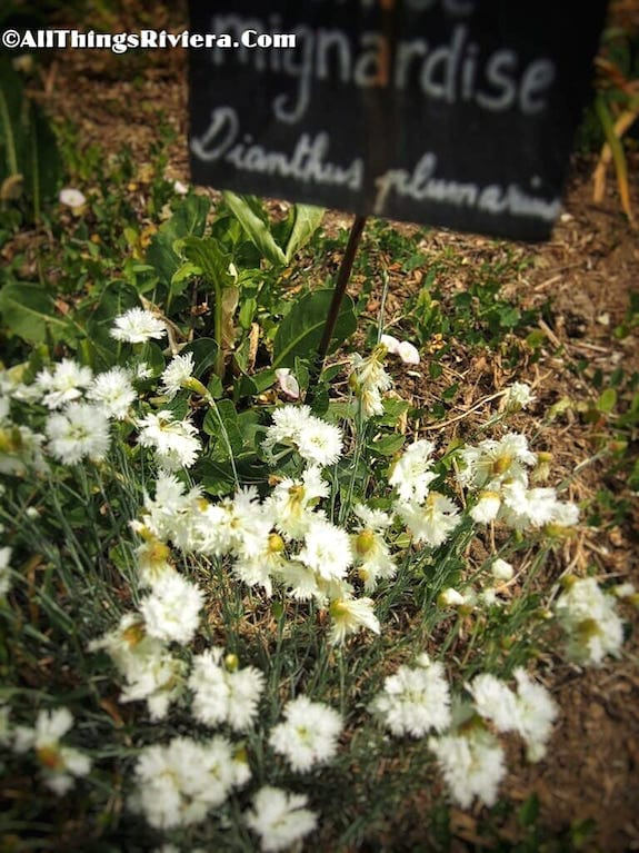 """white carnations in the garden of scents of Grasse"""